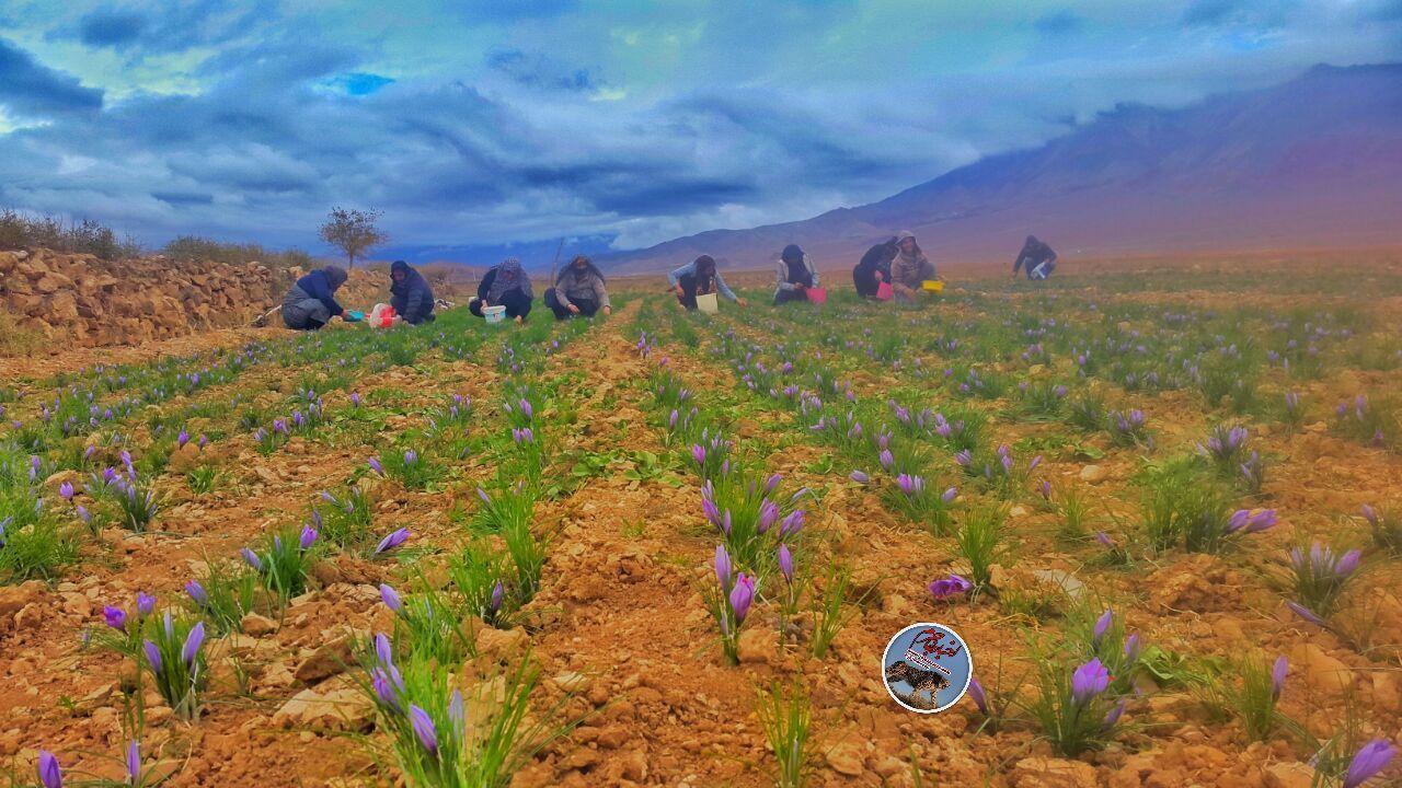 جلوه گری طلای سرخ در مزارع جاجرم