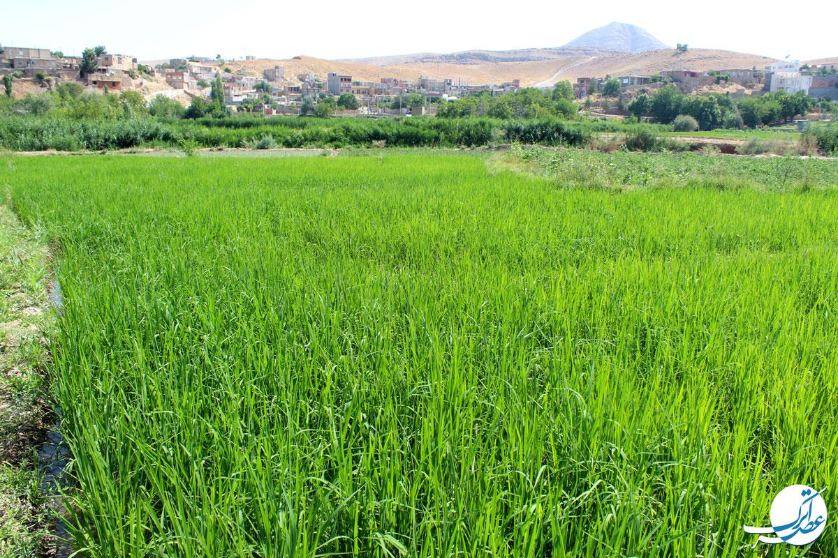 شالیزارهای خراسان شمالی، برنج باباامان، باباامان خراسان شمالی، برنج کاری، مردم خراسان شمالی، عصراترک، برنج، برنج بجنورد